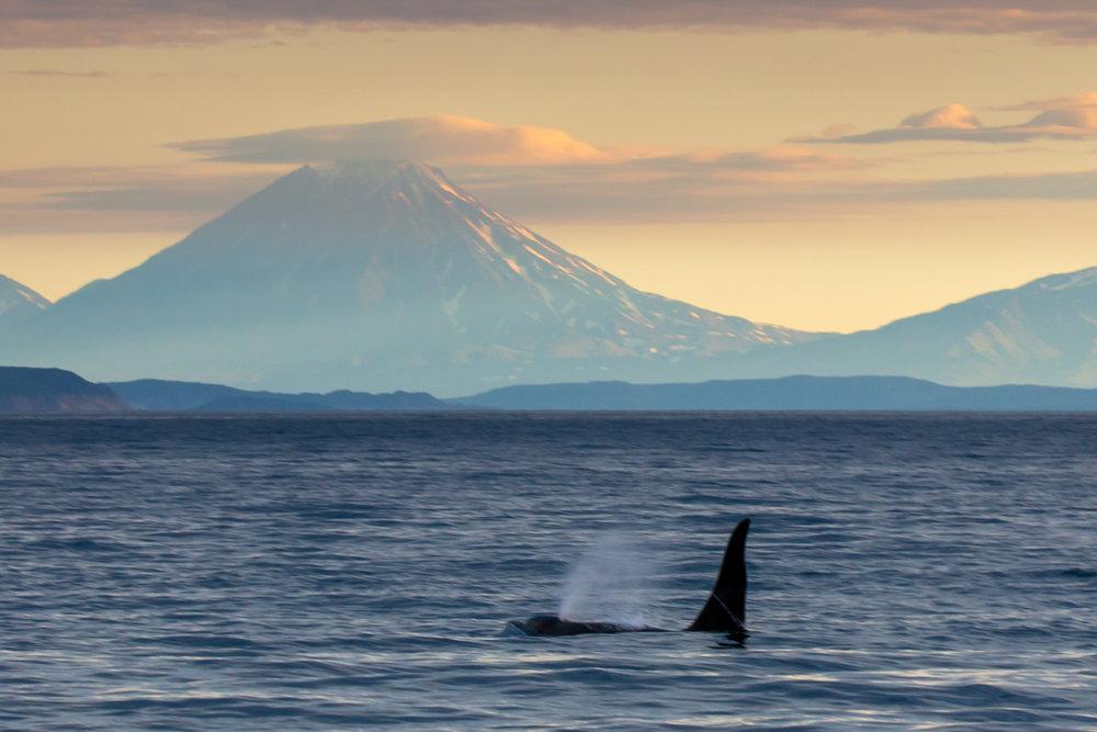 ©Denis Budkov Orka whale at Russkaya Bay Kamchatka.JPG