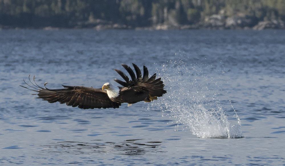 bald eagle in newfoundland 2.jpg