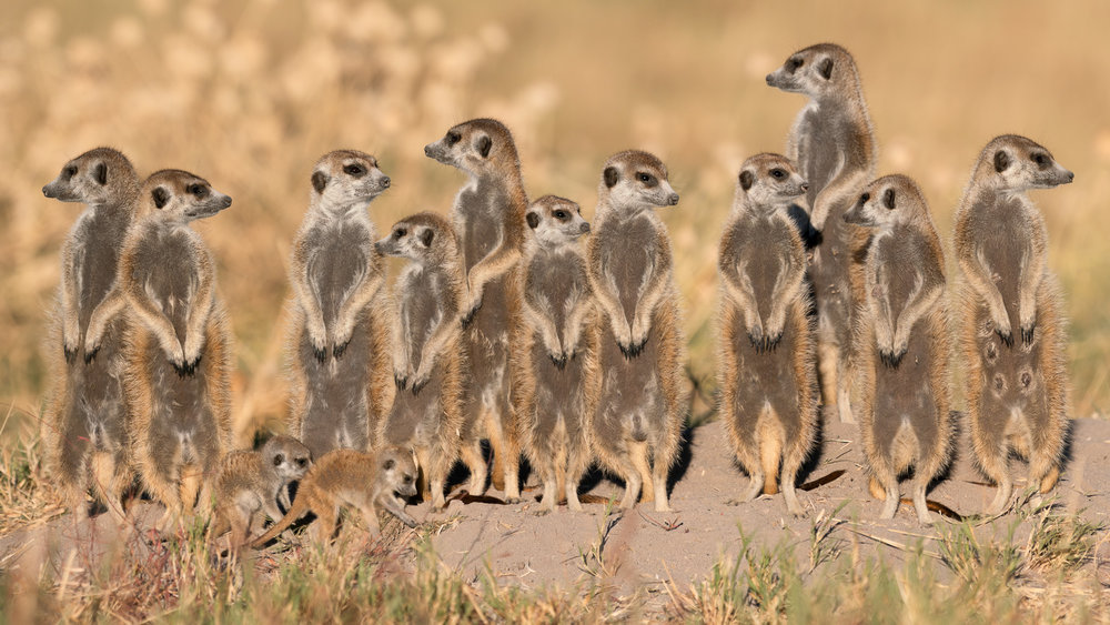 Muench-workshops-meerkats.jpg