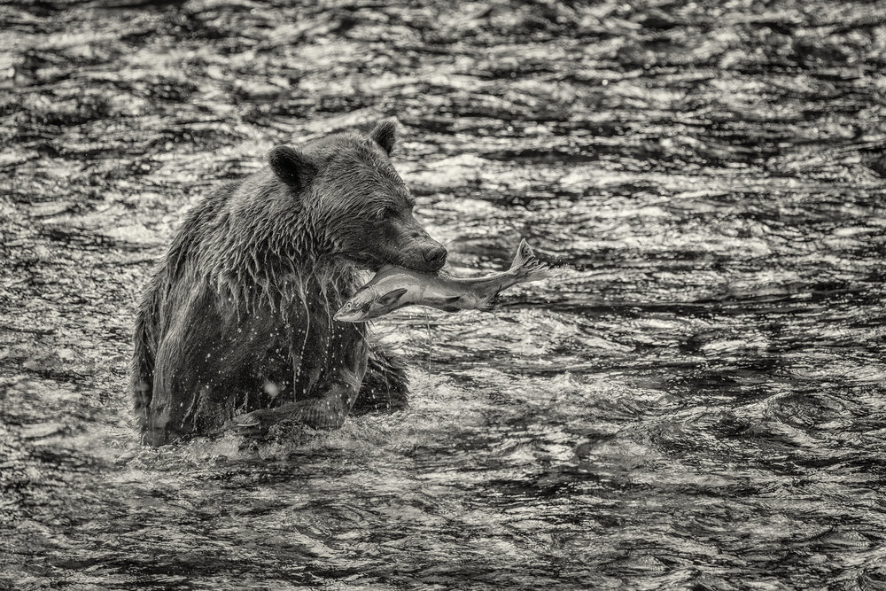 BC-Grizzly-Bears-07756-Edit.jpg