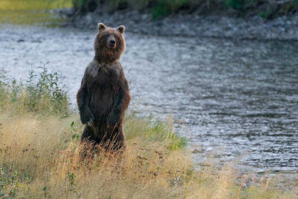 BC-Grizzly-Bears-9517-Edit.jpg