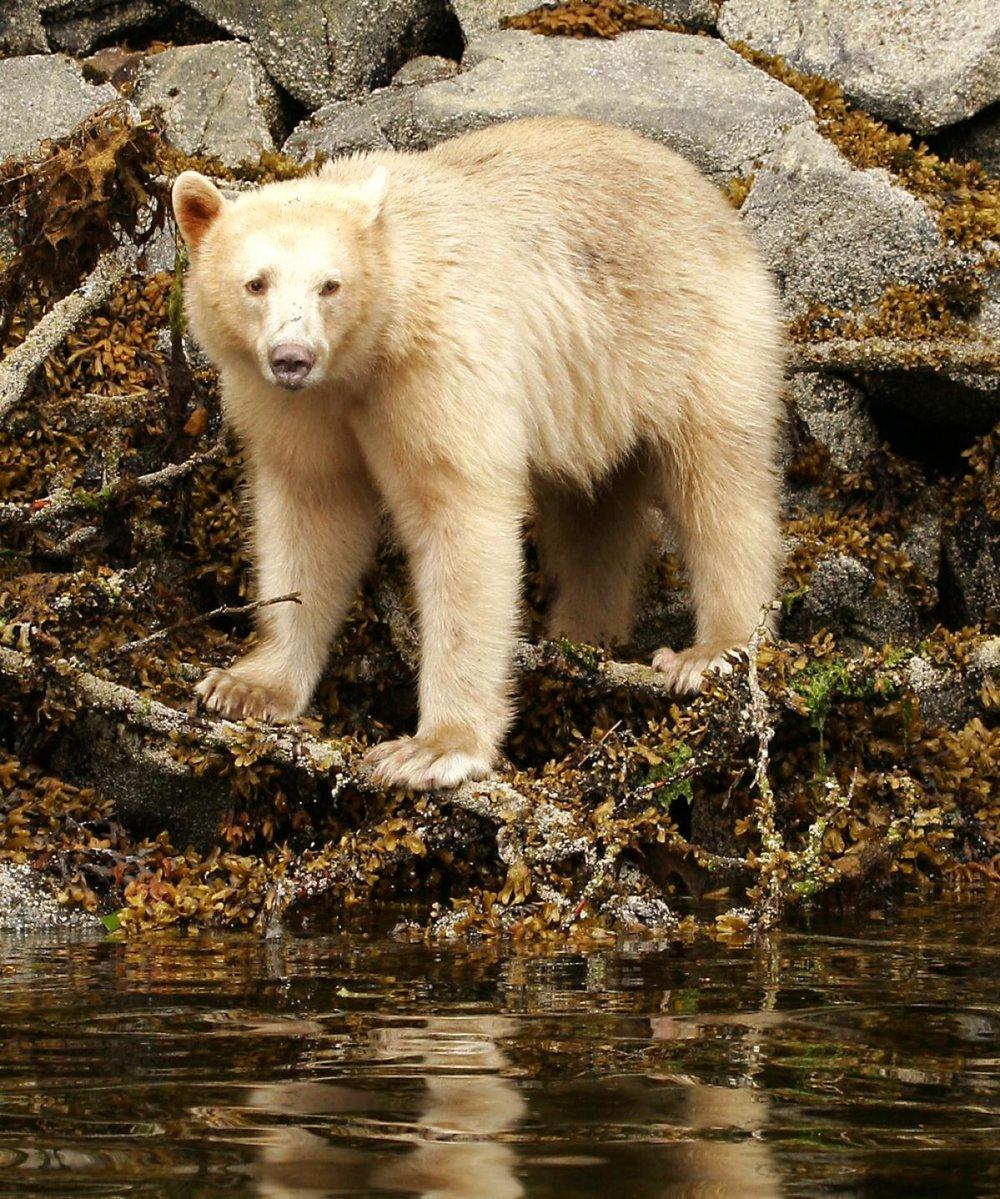 spirit_bear_low_tide_2.jpg