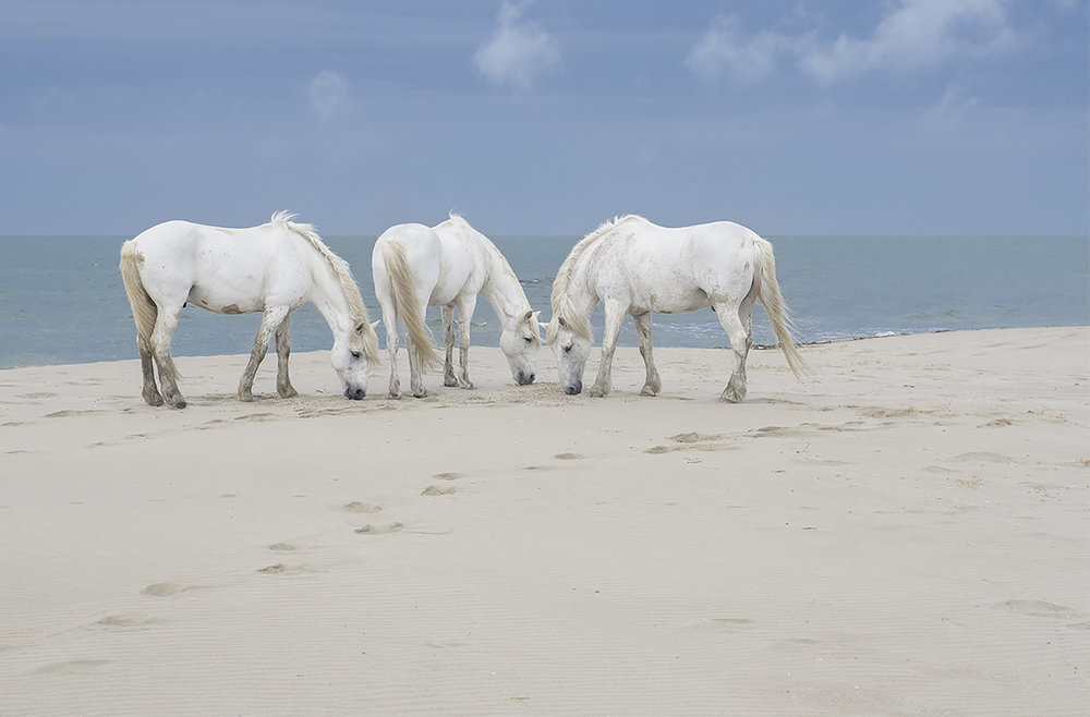three camargue horses in france.jpg