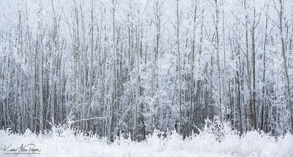 frosted forest.jpg