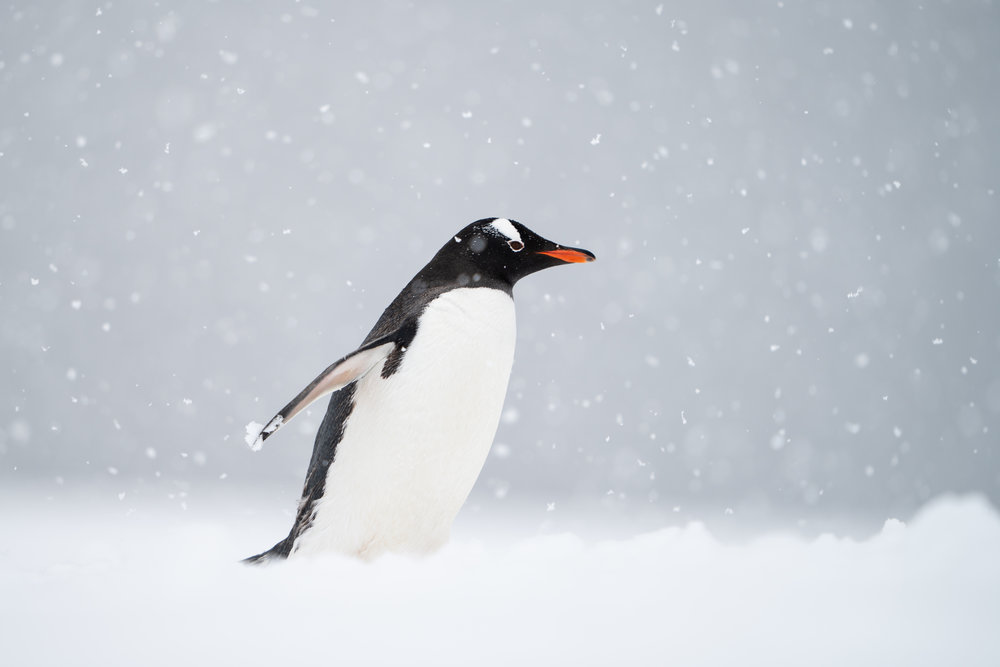 Muench Workshops Pro Will Burrard-Lucas: This is a photograph that I have always wanted to take. When we landed at a Gentoo penguin rookery during heavy snowfall, I knew my chance had come. The fresh snow was deep and we sank down almost to our waists as we forged a path up from the zodiacs. This penguin was on its way up from the sea and had a lovely clean belly (unlike the muddy penguins coming down from the nesting site)! I crouched down to get the penguin above the horizon line and used a wide-open aperture to get shallow depth of field to isolate the penguin and the large falling snowflakes. A fast frame rate and continuous AF helped me capture a sharp image as the penguin hurried past. Sony a7rIII, Sony 400mm f/2.8. ISO 100, f/2.8, 1/800s, handheld.