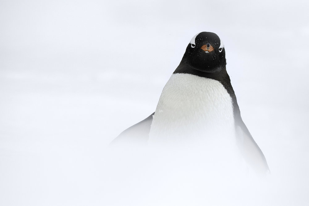 Muench Workshops Pro Kevin Pepper:  Penguins are at almost every landing in Antarctica. After taking hundreds of photos, I decided to think outside the box and start taking more unique images of the penguins in unique positions and situations. In this photo, I went up right behind a snow bank and used the foreground snow to blur out the bottom half of the image to give this image a unique minimalist look.