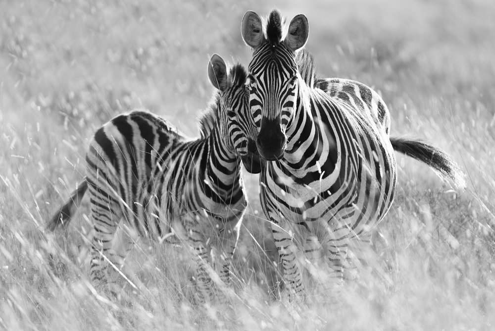 Zebra mother and colt
