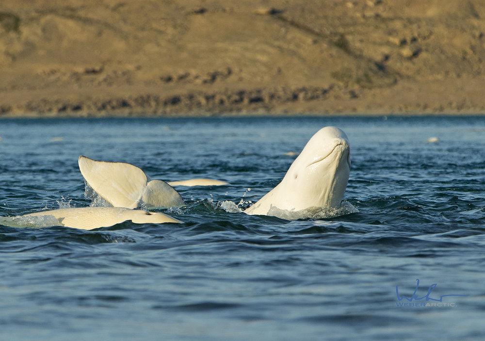 Belugas frolicking in Cunningham Inlet.jpg