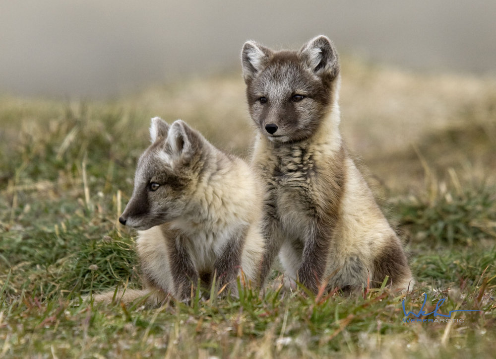 Arctic Foxes.jpeg