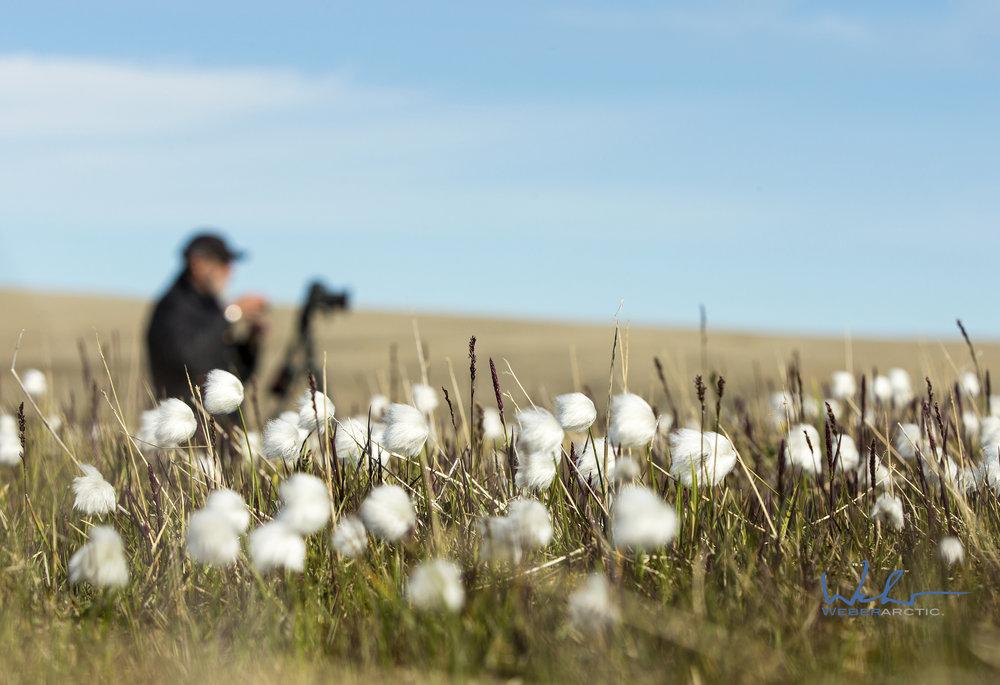 Arctic Cotton.jpg