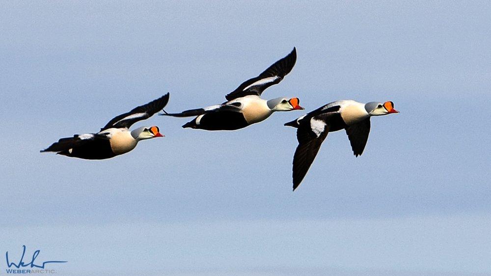 King Eider Ducks.jpg