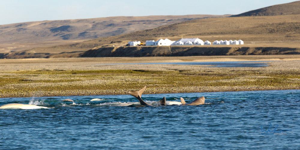 Juvenile beluga playing in front of Arctic Watch.jpg
