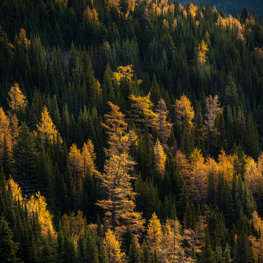 Larch trees, Banff National Park, Alberta Canada