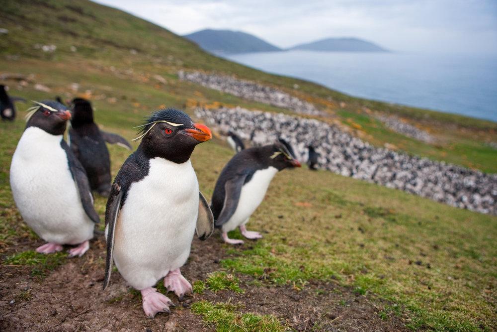 Saunders Island Penguins