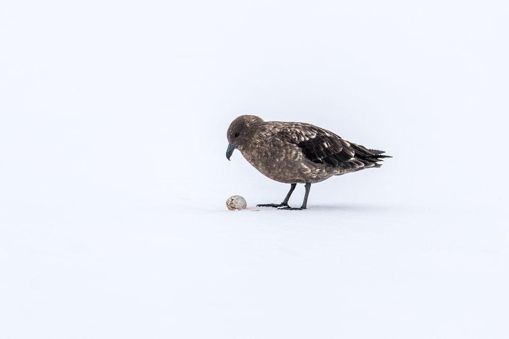 Skua with Penguin Egg
