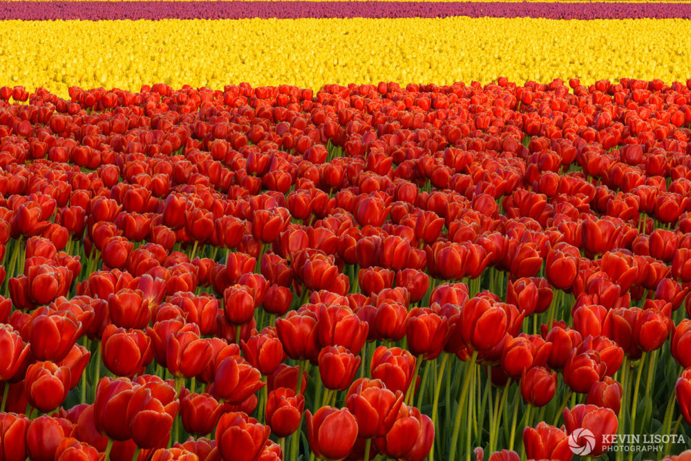 Focus-stacked image of tulip fields. Nikon D850, 200mm, 1/40 sec, f/11, ISO 100