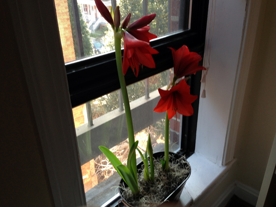 amaryllis-goshgeegolly.jpg