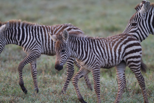 Baby Common Zebras