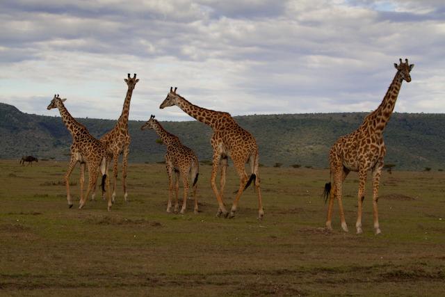Maasai Giraffes