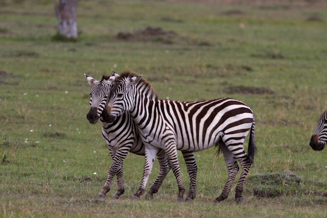 Common Zebras
