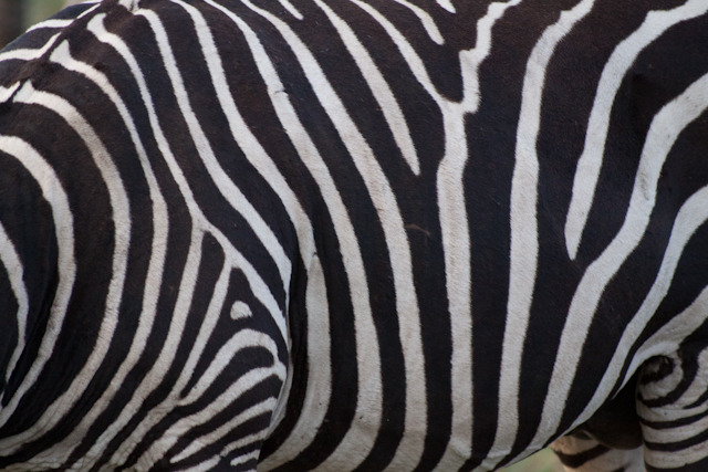 Common Zebra stripes