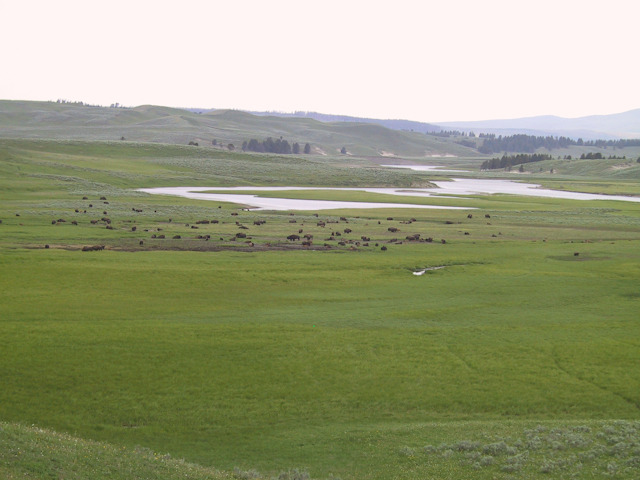 ynp hayden valley bison 2.jpg