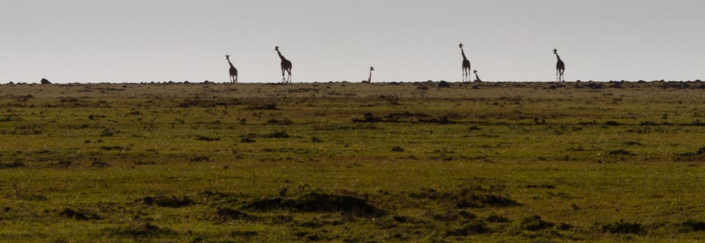 giraffes on horizon
