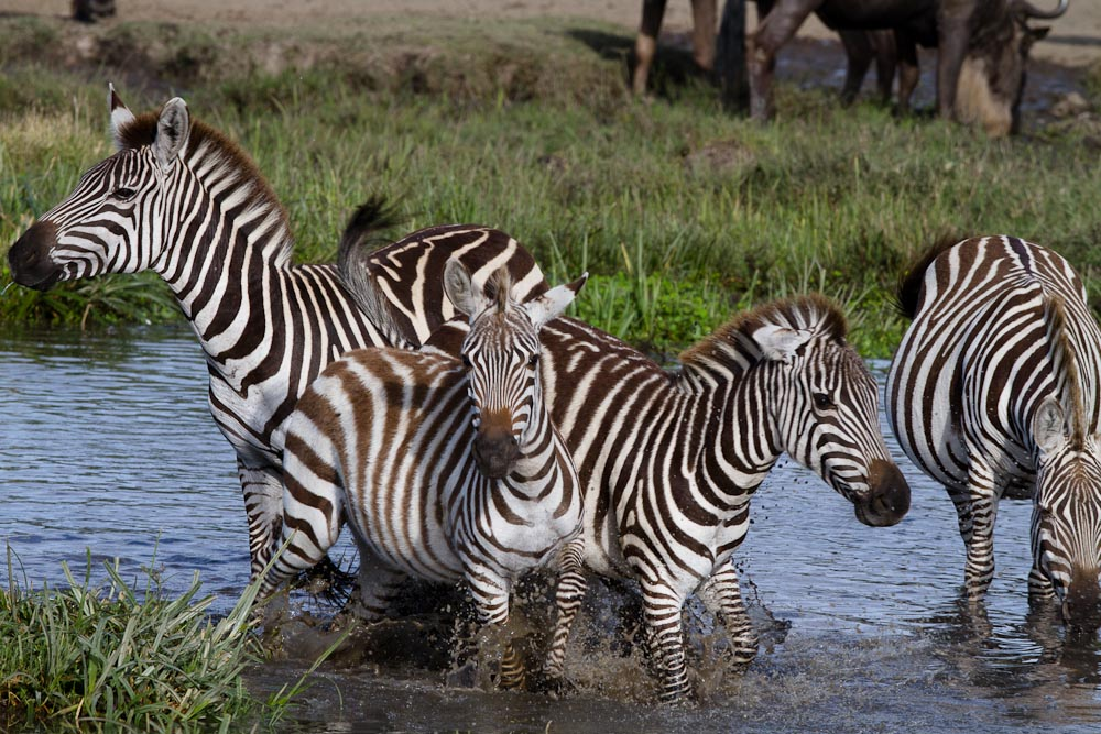 zebras in river