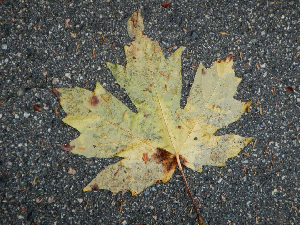 fallen maple leaf near Shannon Falls.