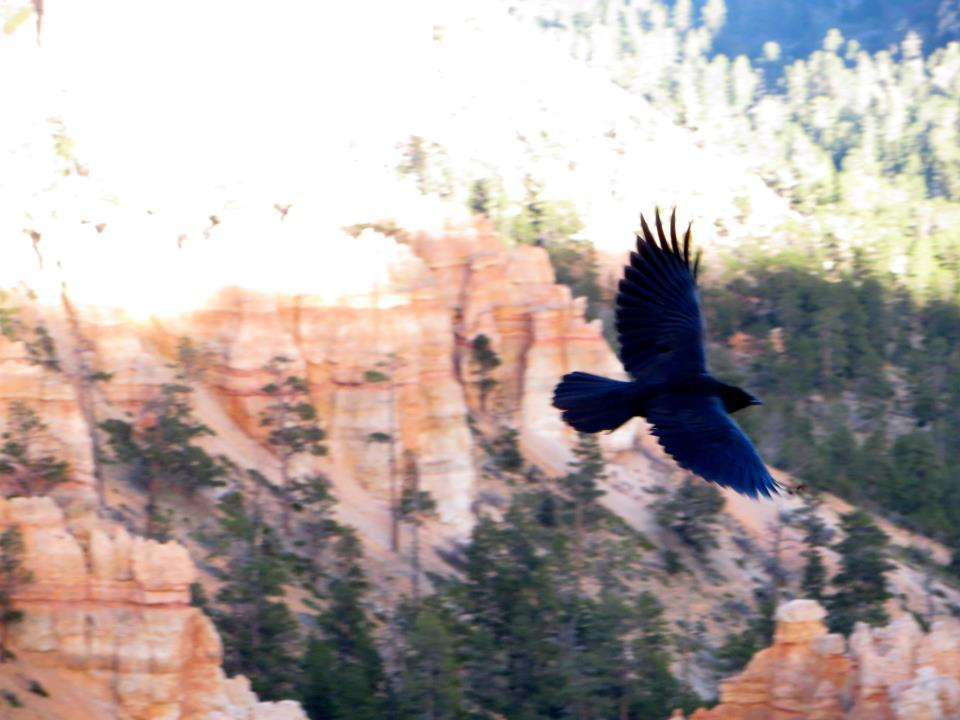 We watched this beautiful bird fly all over the hoodoo.