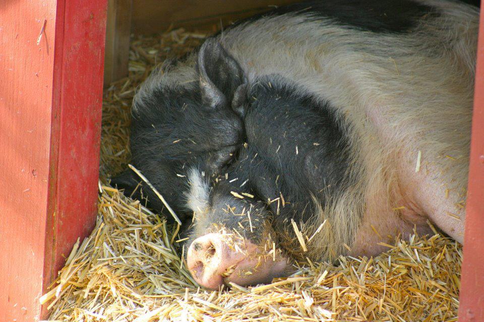 Contented pig.