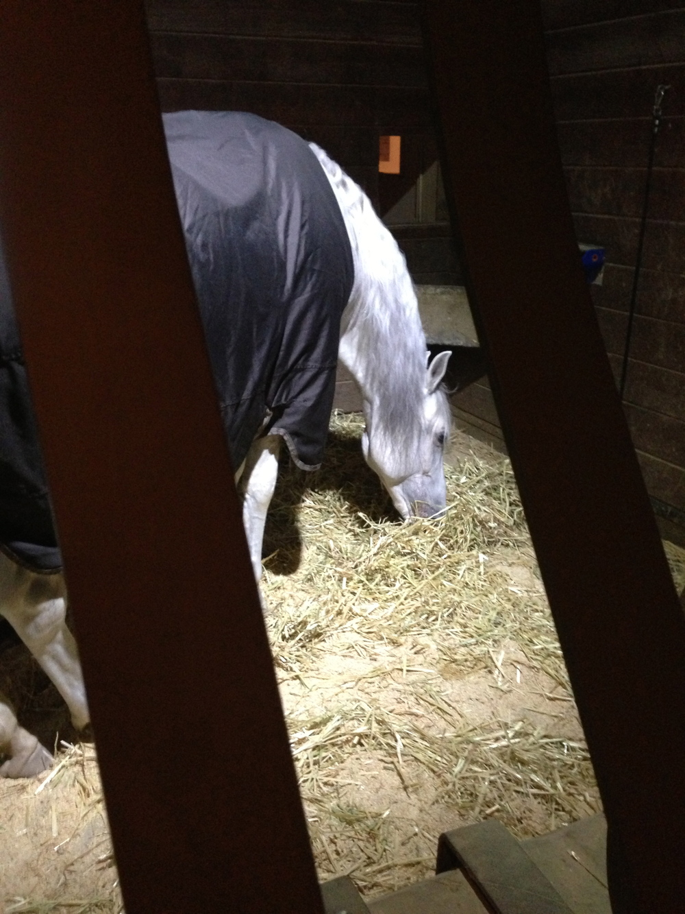 A horse in a blanket, settling in after the performance.