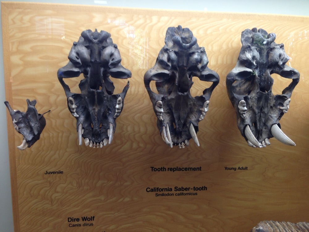 Saber tooth Cat skulls.