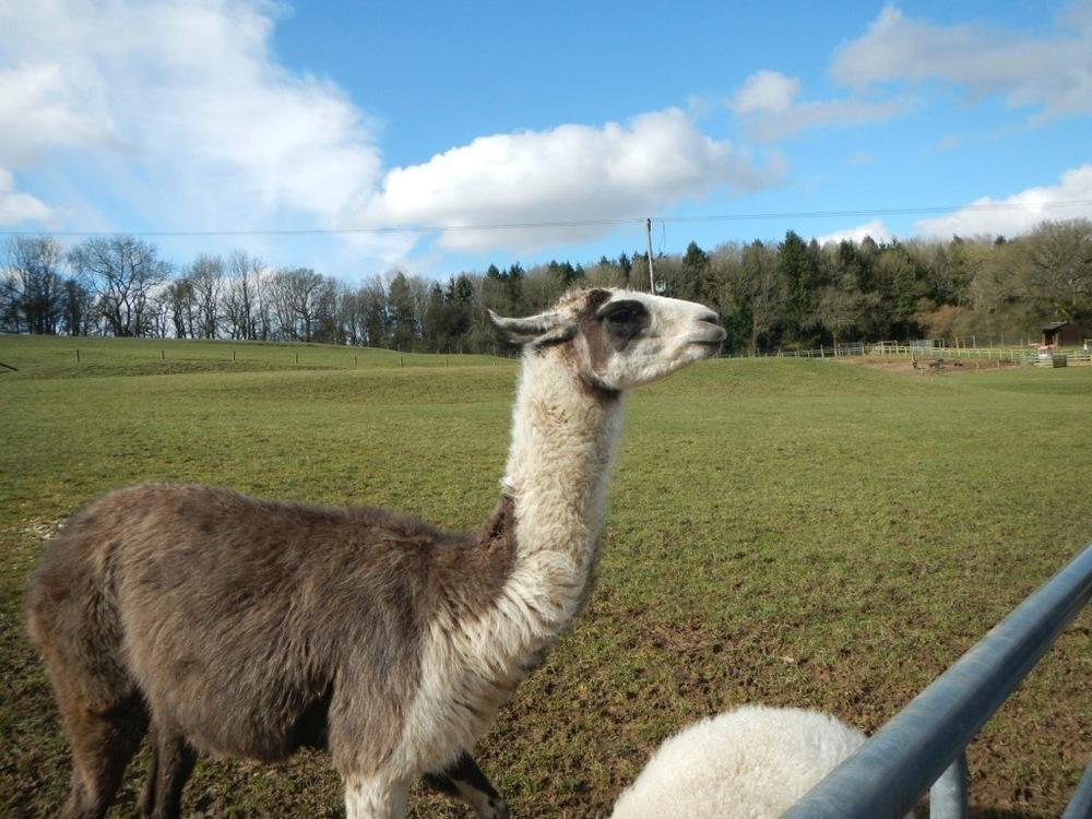 Friendly Llama.