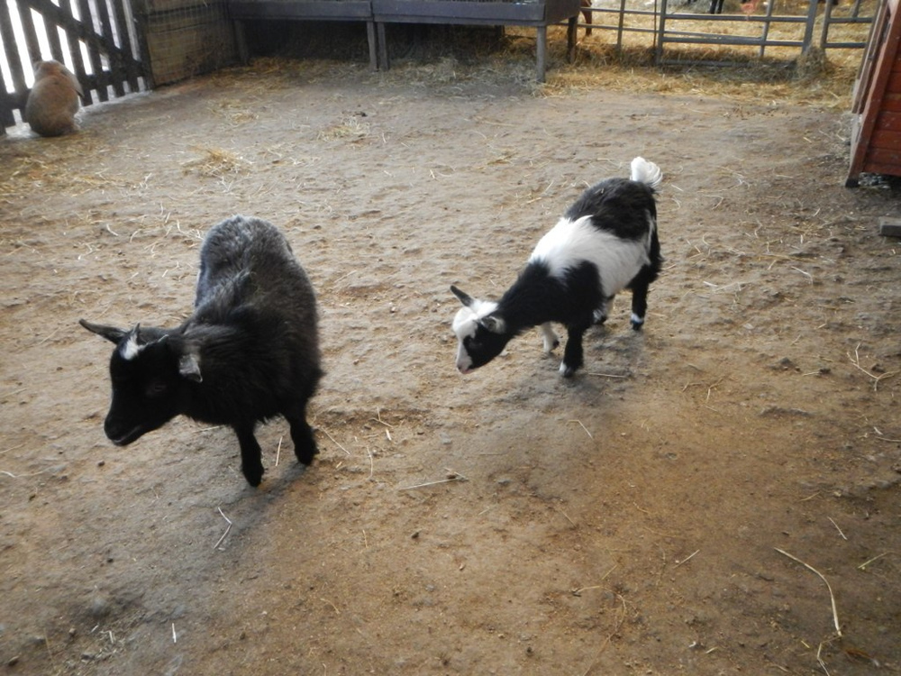 Pygmy goats! So cute!