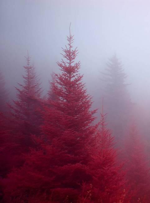 Fog-in-the-Firs.jpg
