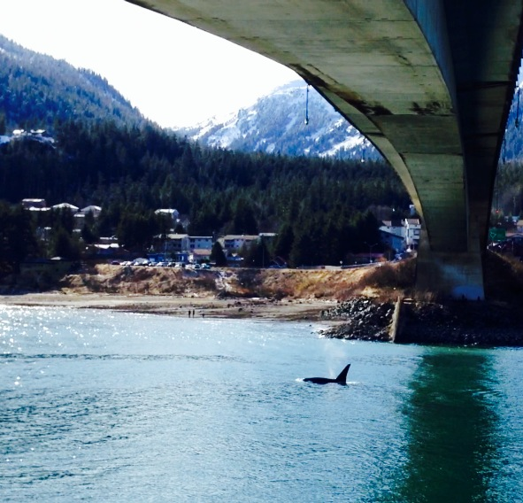 An orca surfaces underneath the Juneau-Douglas Bridge.  Notice the onlookers standing on the shores of Douglas Island.