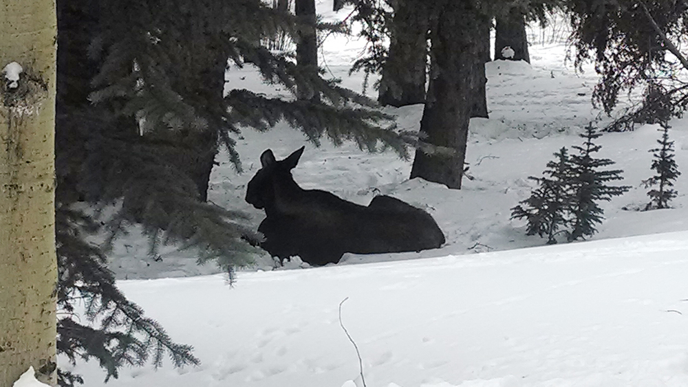One of three moose(s) that had taken to rest in the shade mere yards from someones front door in a Breckenridge neighborhood.