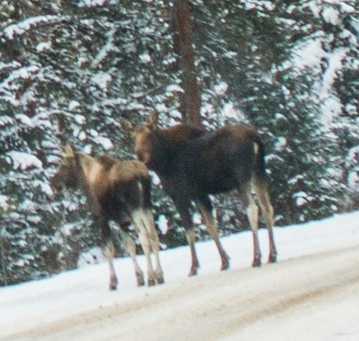 A moose and her calf on Montezuma Road. Relatively new to the moose experience, I chose to stop quite far away.