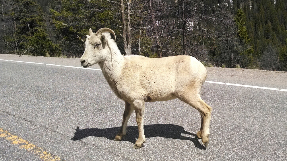 Beware of wildlife on the road. This guy was on Hwy 6 heading down from Loveland Pass and he did not seem very concerned about being in anyone's way.