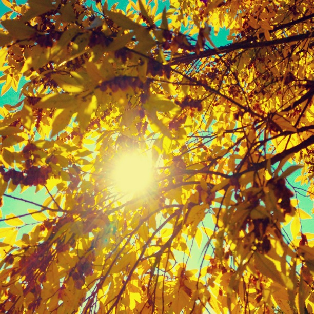 Yellow Fall Leaves - November 2012