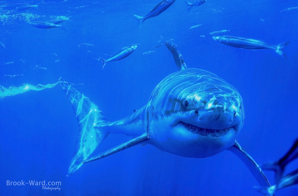 Great White Shark - Guadalupe Island Mexico