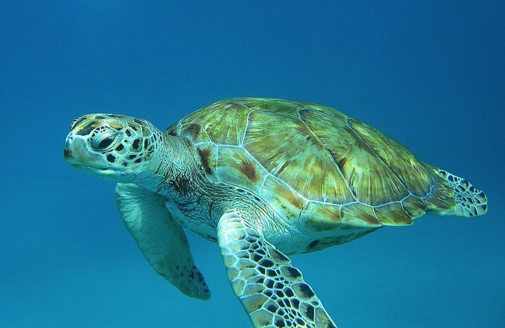 Turtle (Barbados)