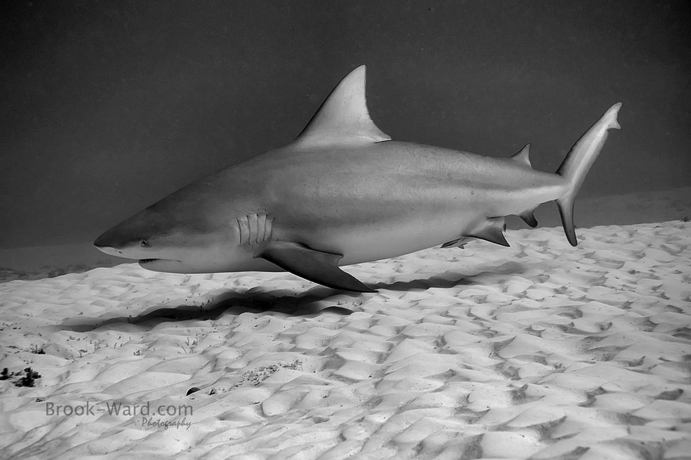 Bull Shark (Mexico)