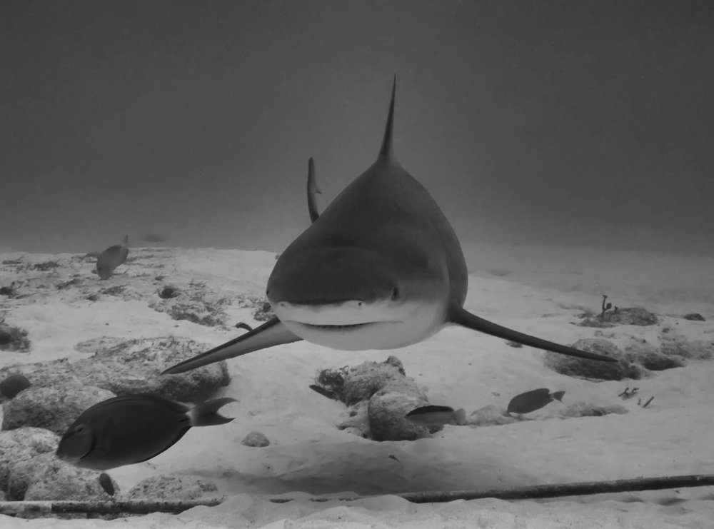 Bull Shark - Mexico