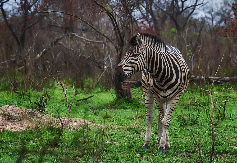 Zebra in Kruger National Park