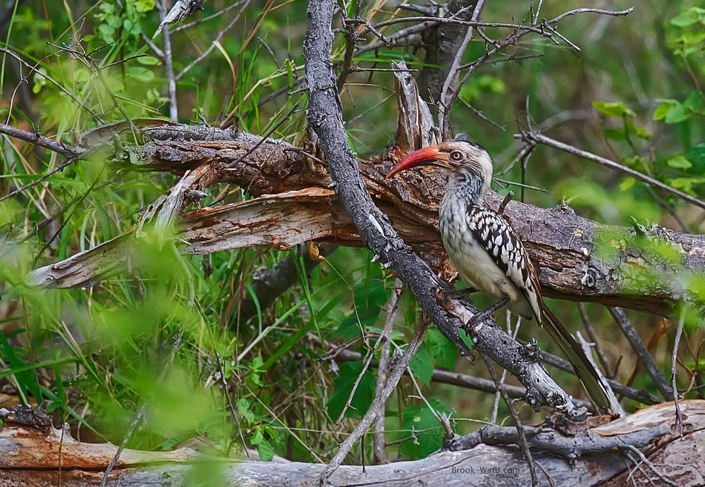 Flying Chili (Red Billed Hornbill)