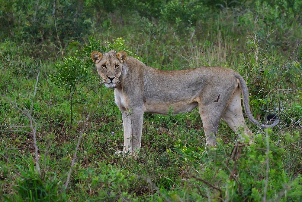 Lioness (Kruger National Park)