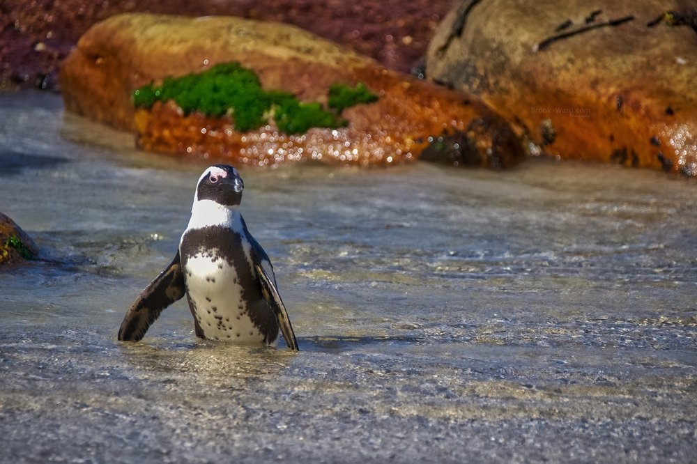 Penguin (Boulders Beach)