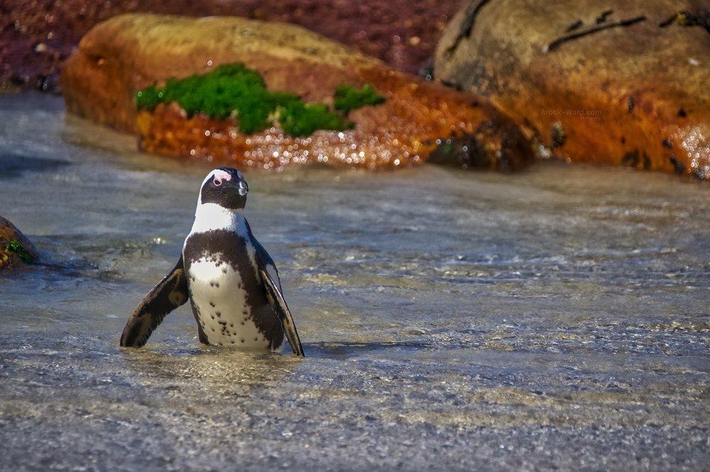 Penguin (Boulders Beach)